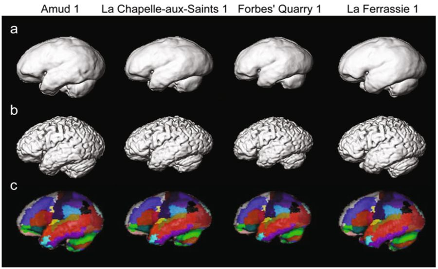 The anti-social mini-brains of Neanderthals – For Better Science